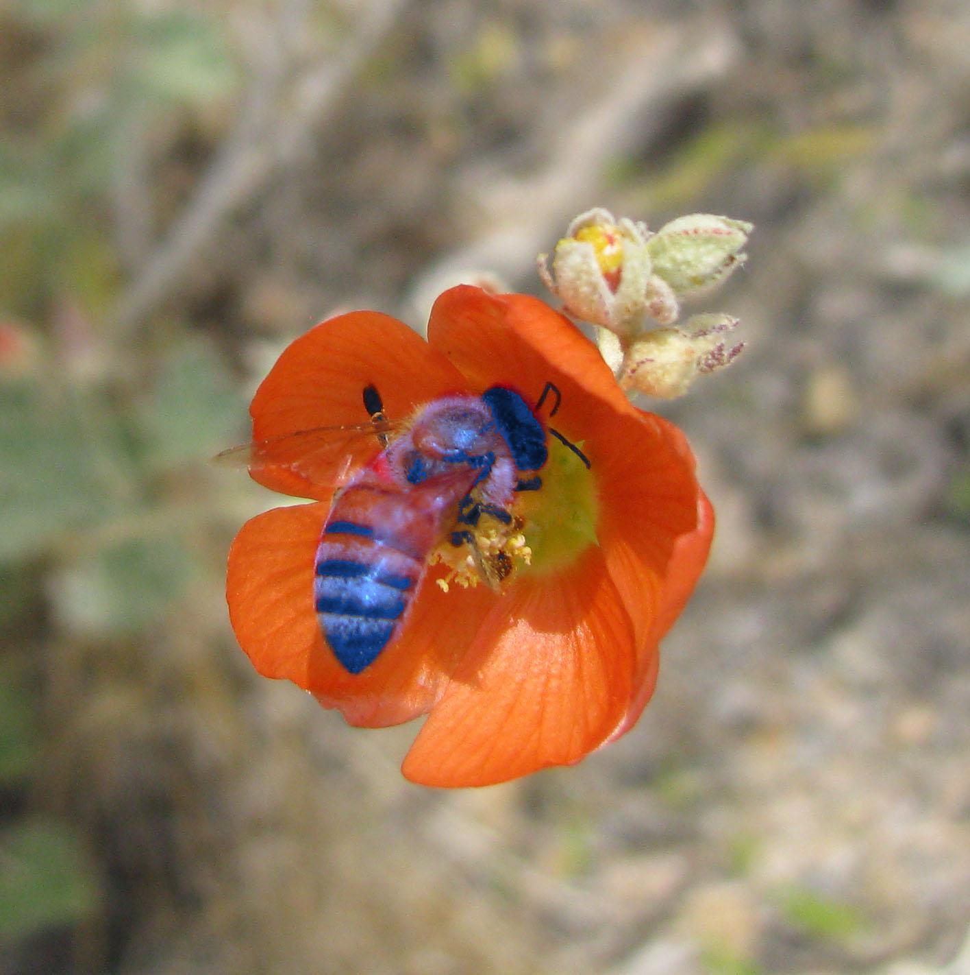 An Indigo Bee